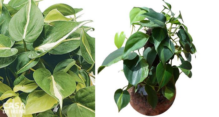 Philodendron cascata